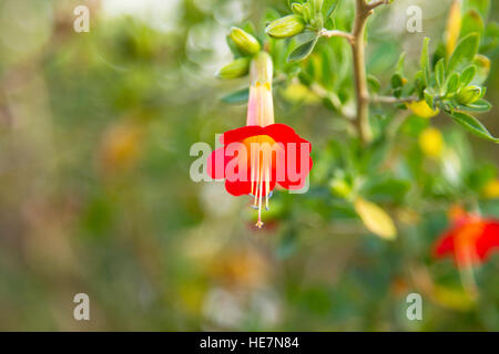 Kantuta, one of the Bolivian national flowers or the sacred flower of the incas - Stock Image