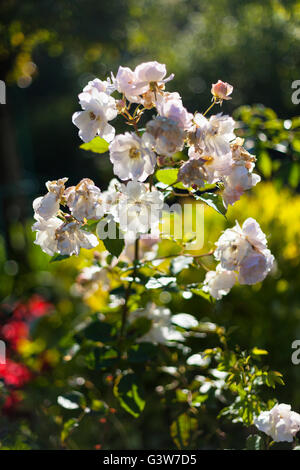Pink flowers in garden, France - Stock Image
