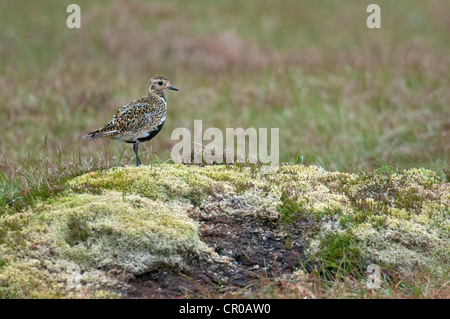 Golden plover (Pluvialis apricaria) adult in breeding plumage standing on peat hag. Shetland Isles. June. - Stock Image
