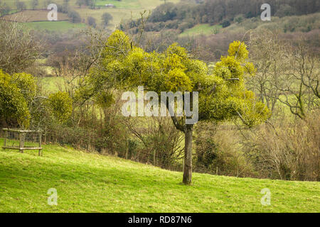 Fruit tree laden with Mistletoe, Viscum album, Ewyas Valley, Black Mountains, Brecon Beacons National Park, Monmouthshire, Wales, UK - Stock Image