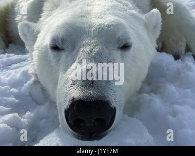 A Polar bear temporarily sedated for research on the Beaufort Sea ice April 5, 2016 in Alaska. Sedated bears wake - Stock Image