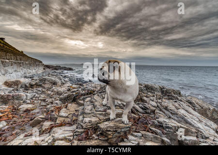 Mousehole, Cornwall, UK. 24th Apr, 2019. UK Weather. Still mild, but overcast and windy start to the day for Titan the pug out on his morning walk on the Cornish coastline. Credit: Simon Maycock/Alamy Live News - Stock Image