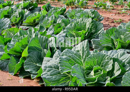 Collard greens or Brassica oleracea, a southern cabbage, growing in a field is a winter crop cultivated in Georgia, USA. - Stock Image