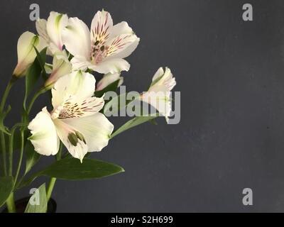 Alstroemeria on a grey background. - Stock Image