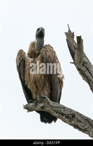 White-backed Vulture Gyps africanus perched on the top of a tall dead tree - Stock Image