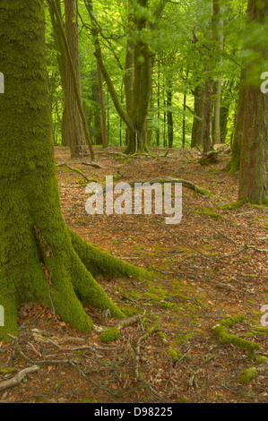 Late evening light filters through to the beech trees on the eastern side of the River Yealm in Dendles Wood on - Stock Image