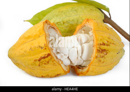 cocoa fruits with leaf - Stock Image