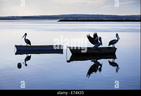 Pelicans sitting on boats, Queenscliff VIC Australia - Stock Image