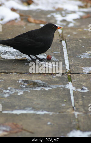 England, UK - 19 December 2010-  Adult male blackbird feeding on a grape during winter in the UK - Stock Image