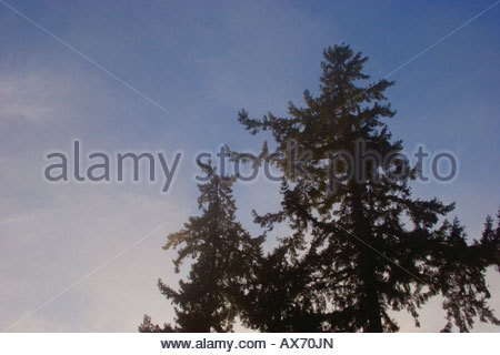 Looking up at the pine trees through the mist - Stock Image