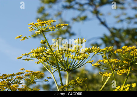 Selective focus image of a blooming Parsnip (Pastinaca sativa). - Stock Image