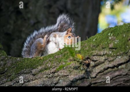 A Grey Squirrel scratching on a tree branch in Barnett Demesne, Belfast, N.Ireland. - Stock Image