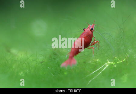 Red cherry shrimp in a planted aquarium - Stock Image