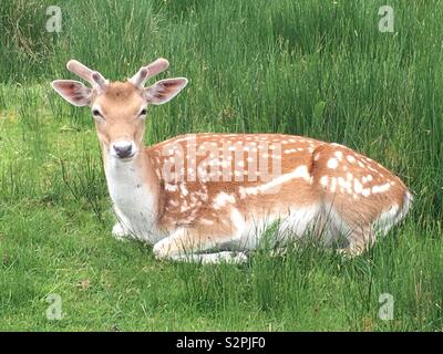 A deer lying on the grass - Stock Image