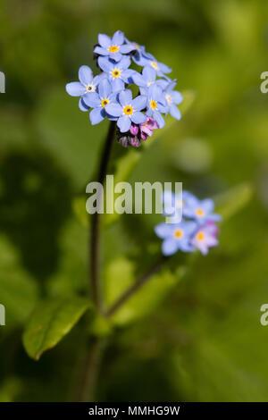 Field Forget-me-not (Myosotis arvensis) flower - Stock Image