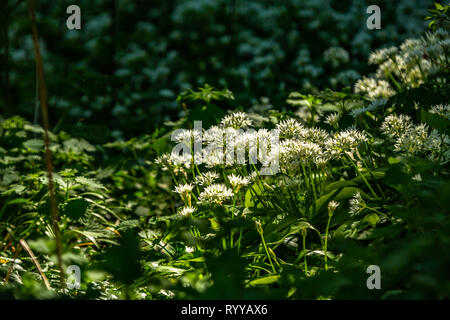 A carpet of wild garlic in a wood or forest in the UK - Stock Image