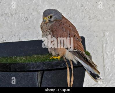 American Kestrel (falco sparverius) - Stock Image