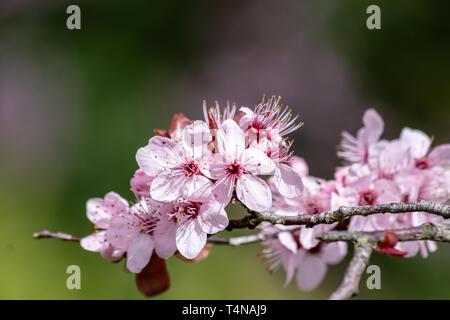 Close up of Prunus Cerasifera Pissardii cherry-plum tree blossom with pink flowers on blurred garden background in spring sunshine - Stock Image