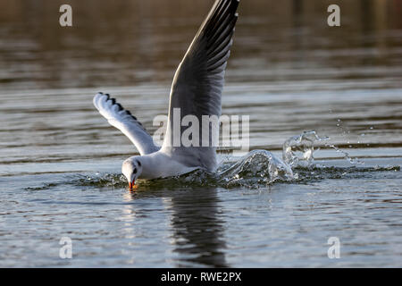 Seagull diving into lake water for food bread - Stock Image