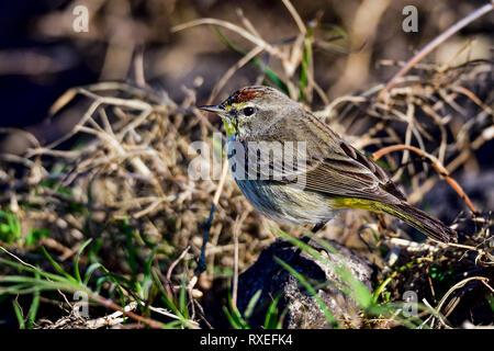 Palm Warbler - Stock Image
