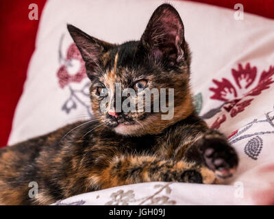 Kitten laying down relaxed - Stock Image