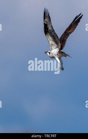 Osprey (Pandion haliaetus) in hover flight due to an intruder approaching its nest. - Stock Image