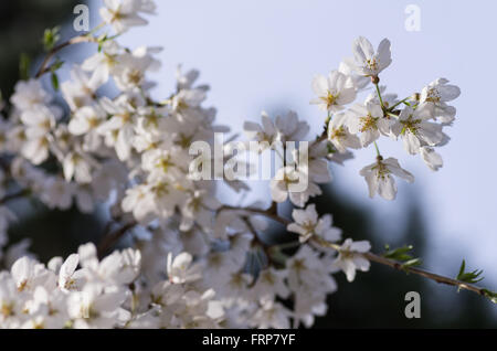 Yoshino Cherry Blossoms at Kyoto Imperial Palace - Stock Image