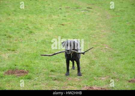 Black labrador retriever carrying a stick whilst walking through a field - Stock Image