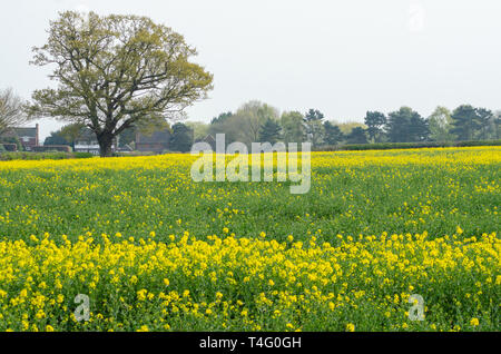 A field of yellow oilseed rape at a farm near the village of Perton in south Staffordshire near Wolverhampton, UK - Stock Image