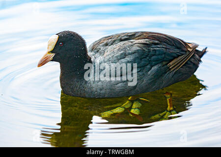 Adult coot on the water at Himley Hall in Dudley. - Stock Image