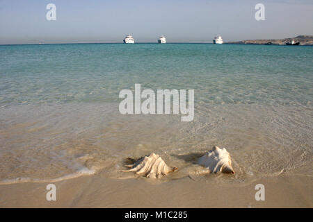 Large conch seashell on the beach, Egypt, Red Sea - Stock Image