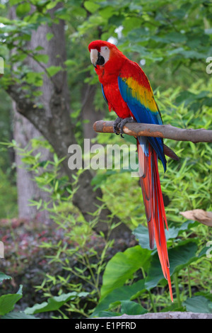 Macaw,parrot posing on a branch. - Stock Image