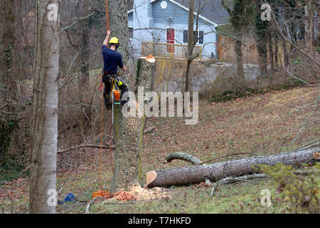 A roped in arborist climbs an old cherry tree and uses a chain saw to take it down on a winter's day - Stock Image