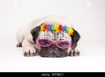 adorable pitiful pug puppy dog, lying down flat. wearing hawaiian flower garland and pink sunglasses, on white background - Stock Image