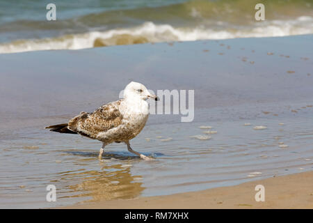 Seagulls are wild birds often found on the Baltic coast not only as here in Kolobrzeg, Poland, but also in many other places. - Stock Image