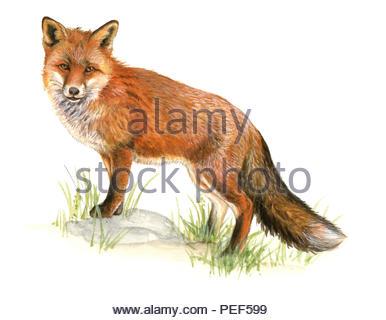 red fox vulpes vulpes - Stock Image