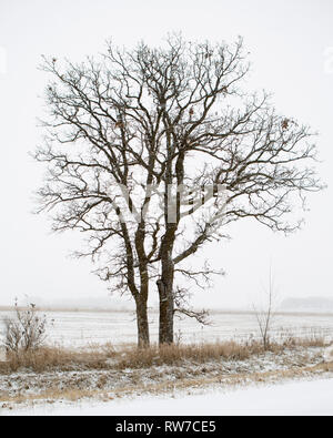 Two Trees at Edge of Field during Winter Snowstorm - Stock Image