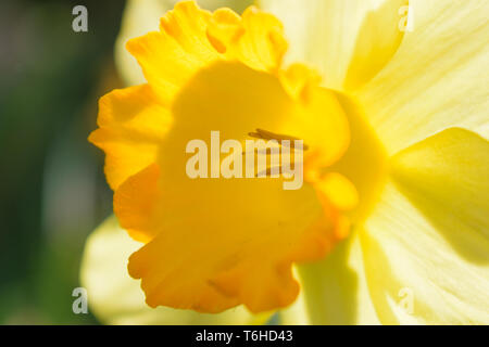 Narcissus Fortune (Large cupped Daffodil) detail - Stock Image