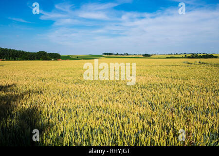 Field of wheat now covering the countryside where the Battles of the Somme took place in World War 1 - Stock Image