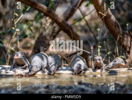 A family of common dwarf mongoose line up to drink, South Luangwa, Zambia - Stock Image