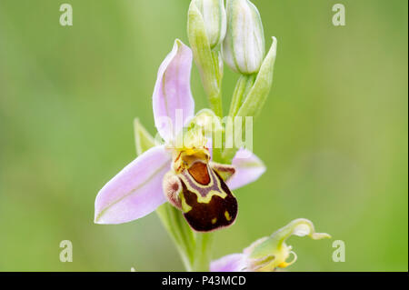 A native Bee Orchid (Ophrys apifera) growing wild in the UK - Stock Image