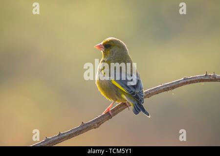 Colorful greenfinch bird Chloris chloris singing in Springtime - Stock Image