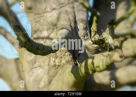 Old beech in the park in Lauenburg on the Elbe - Stock Image