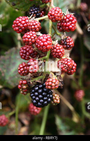 Close up of a cluster of juicy red and dark blue blackberries ripening on the vine in summertime - Stock Image