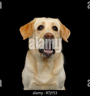 Funny Portrait of Surprised Labrador retriever dog Staring with opened mouth on isolated black background, front view - Stock Image