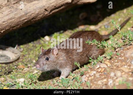 Brown Rat, (Rattus norvegicus), Brent Reservoir, also known as Welsh Harp Reservoir, Brent, London, United Kingdom - Stock Image