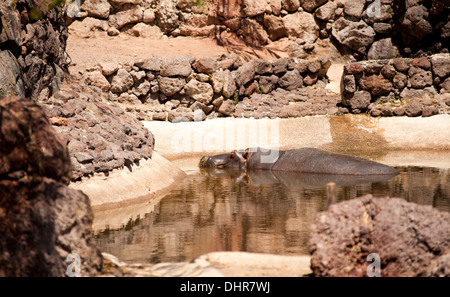 Hippo bathing in sunshine - Stock Image