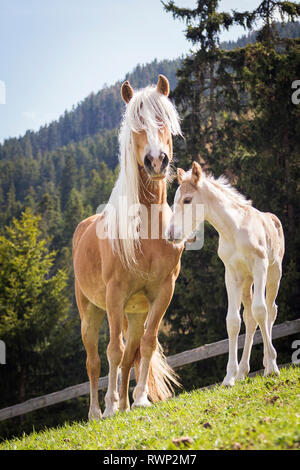 Haflinger Horse. Mare with foal standing on a meadow. South Tyrol, Italy - Stock Image