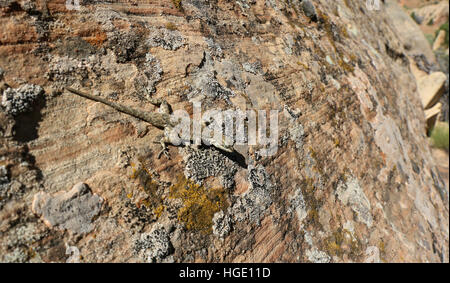 Lizard species on sandstone rock Dinosaur National Monument Utah fossil  sedimentary - Stock Image