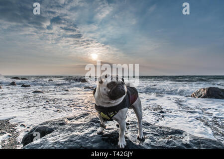 Mousehole, Cornwall, UK. 13th Apr, 2019. UK Weather. Cold winds from the East approaching 50 mph are starting to hit the coast of Cornwall. Seen here Titan the pug back in his winter jacket. Credit: Simon Maycock/Alamy Live News - Stock Image